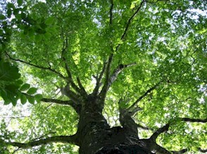 Summer-Beech-Tree